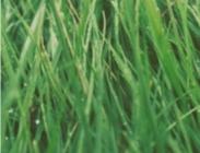 Semillas Pasto Siambasa Panicum Maximum