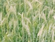 Semillas de Moha Setaria Setaria itálica