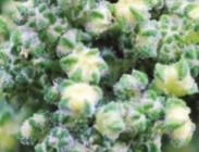 Semillas de Quinoa Regalona Chenopodium quinoa