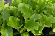 Semillas de Lechugas Baby Leaf