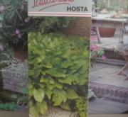 HOSTA VERDE SIEBOLDIANA ELEGANS [PJUB] H-1 (24...