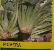 BORRAJA MOVERA (100 gr.).