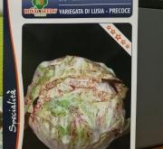 ACHICORIA VETEADA DE LUSIA PRECOZ (Cerca de 1,5...