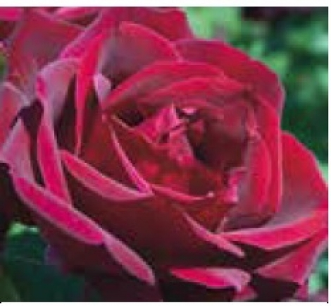 ROSAL PAPA MEILLAND ® - Meisarsar (Trepador)