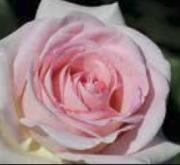 ROSAL PRINCE JARDINIER ® Meitroni