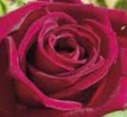 ROSAL BLACK PERFUMELLA ® - Meizhoro