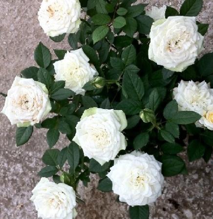 ROSAL SNOW MEILLANDINA ® - Meigovin ( Pie Mini 50 cm.)