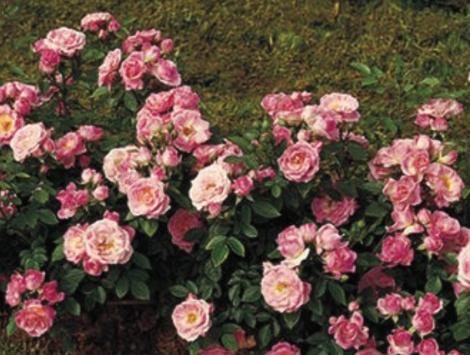 ROSAL BELLE SYMPHONIE ® - Meirivoui ( Pie Mini 50 cm.)