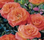 ROSAL MANDARINE SYMPHONIE ® - Meidarin ( Pie Mini...