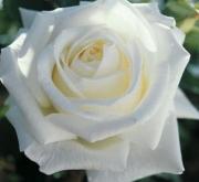ROSAL PAU CASALS ® - Meifaissel ( Pie Alto 100...