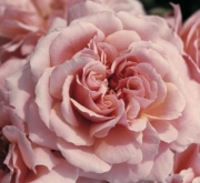 ROSAL BOTTICELLI ® - Meisylpho ( Pie Alto 100 cm.)