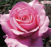 ROSAL PRESTIGE DE LYON ® - Meimino ( Pie Alto 100...