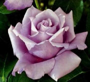 ROSAL CHARLES DE GAULLE ® Meilanein ( Pie Alto 100...