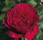 ROSAL ALAIN SOULCHON ® Meikarouz ( Pie Alto 100...