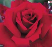 ROSAL MARCEL PAGNOL ® - Meisoyris ( Pie Alto 100...