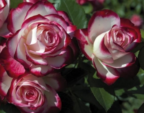 ROSAL JUBILÉ DU PRINCE DE MONACO ® - Meisponge ( Pie Alto 100 cm.)