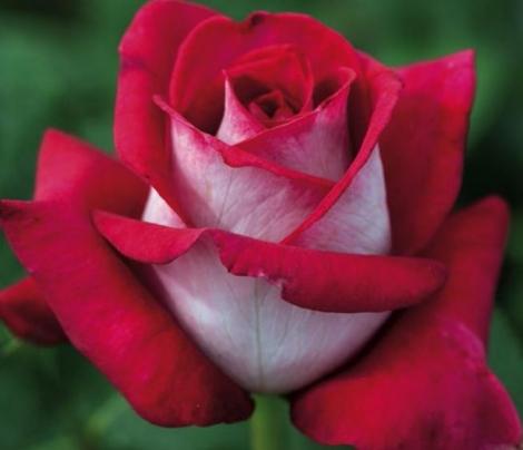 ROSAL MONICA BELLUCCI ® - Meimonkeur ( Pie Alto 100 cm.)