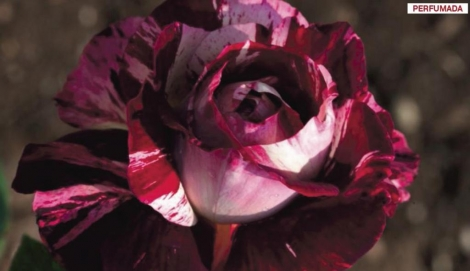 ROSAL JULIO IGLESIAS ® - Meistemon ( Pie Alto 100 cm.)