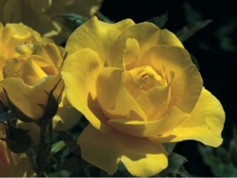 ROSAL CARTE D'OR ® - Meidresia ( Pie Alto 100 cm.)