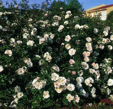 ROSAL ICE MEIDILAND ® - Meivahin (Llorón)
