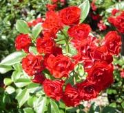 ROSAL SCARLET MEIDILAND ® - Meifafio (Llorón)