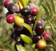 OLIVO ARBEQUINA - Mínimo 100 Plantas.
