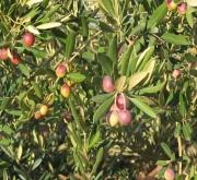 OLIVO ARRONIZ - Mínimo 100 Plantas.