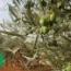 OLIVO HOJIBLANCA - Mínimo 100 Plantas.