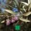OLIVO PICUAL - Mínimo 100 Plantas.