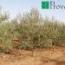 OLIVO REDONDILLA DE LOGROÑO - Mínimo 100 Plantas.