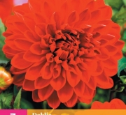DALIA DECORATIVA RED XXL