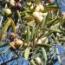 OLIVO MANZANILLA CACEREÑA - Mínimo 100 Plantas.
