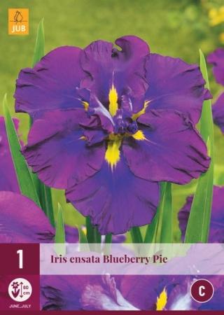 IRIS ENSATA BLUEBERRY PIE