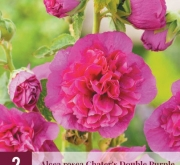 ALCEA ROSEA CHATER'S DOUBLE PURPLE