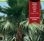 PALMERA WASHINGTONIA (10 Semillas)