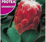 PROTEA GRANDICEPS (6 Semillas).
