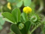 Semillas de Medicago Polymorpha, Alfalfa de Secano