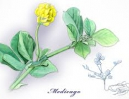 Semillas de Medicago Truncatula