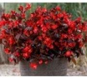 BEGONIA VIKING ZL GREEN COLOR RED (144 Plantas).