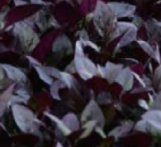 ALTERNANTHERA PURPLE PRINCE (240 Plantas).