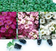 ALYSSUM CLEAR MIX (240 Plantas).