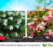 BEGONIA BABY WING MIX F1 (144 Plantas).