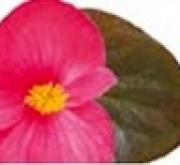 BEGONIA VIKING ZL CHOCOLATE COLOR ROSA (144...
