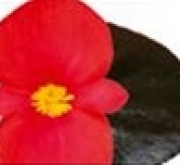 BEGONIA VIKING ZL BRONCE COLOR RED (144 Plantas).