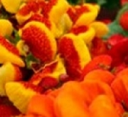 calceolaria propiedades