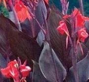 CANNA CANNOVA HOJA BRONCE SCARLETT (144 Plantas).