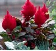 CELOSIA PLUMOSA FRESH LOOK MIX (240 Plantas).