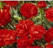 CLAVEL DOBLE CANCAN ROJO (240 Plantas).