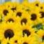 GIRASOL BERT (144 Plantas).