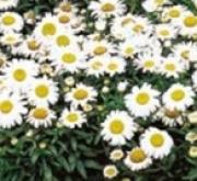 LEUCANTHEMUM SNOW LADY (240 Plantas).
